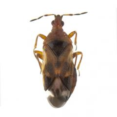 Anthocoris spp., plaga