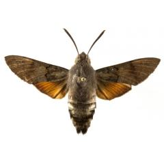 Macroglossum stellatarum, plaga